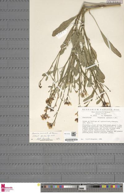 Brassica carinata A.Braun