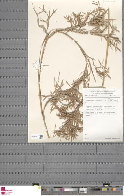 Cymbopogon citratus (DC.) Stapf