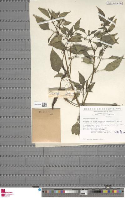 Capsicum annuum L.