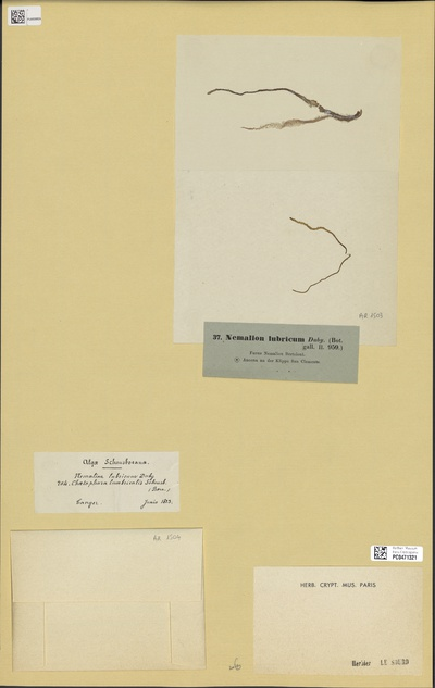 Nemalion lubricum Duby