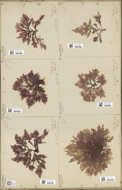 Callithamnion granulatum (Ducluz.) C.Agardh
