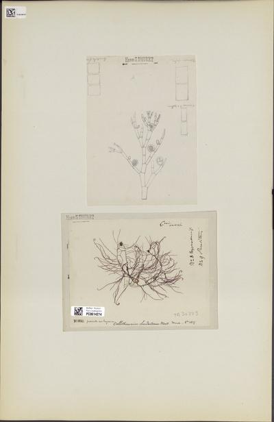 Callithamnion hypneae P.Crouan & H.Crouan