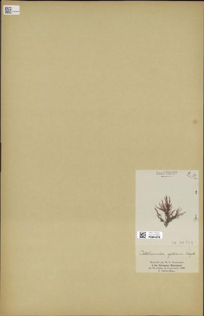 Callithamnion gallicum Nägeli