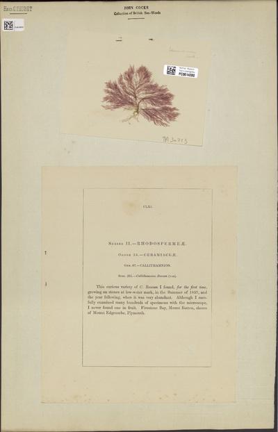 Callithamnion tenuissimum (Bonnemaison) Kütz.