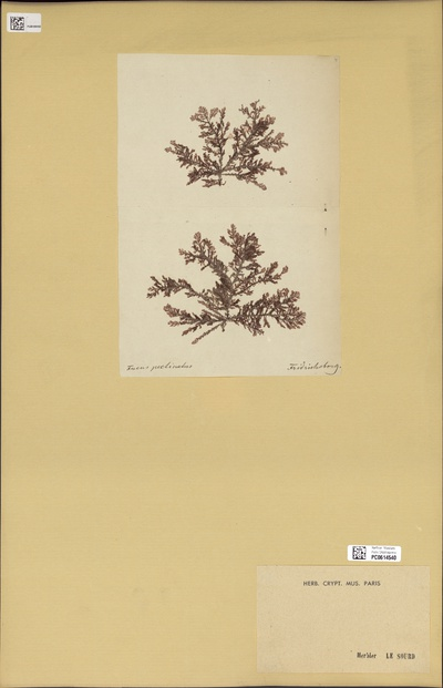 Fucus pectinatus Gunnerus