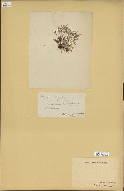 Bryopsis arbuscula (DC.) J.V.Lamour.