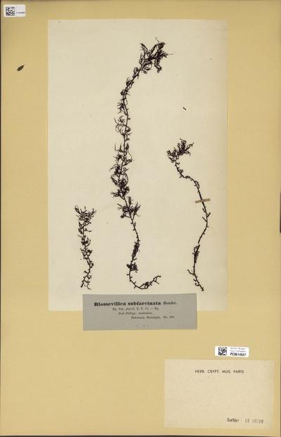 Blossevillea subfarcinata (Mertens) Trevisan