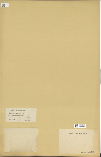 Bryopsis adriatica