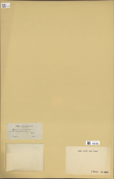 Bryopsis muscosa J.V.Lamour.