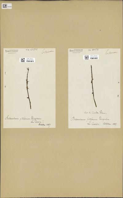 Bolbocoleon piliferum N.Pringsheim