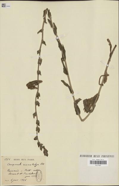 Campanula macrostachya Waldst. & Kit. ex Willd.