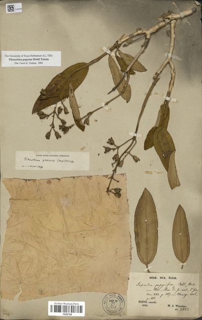 Tibouchina papyrus (Pohl) Toledo