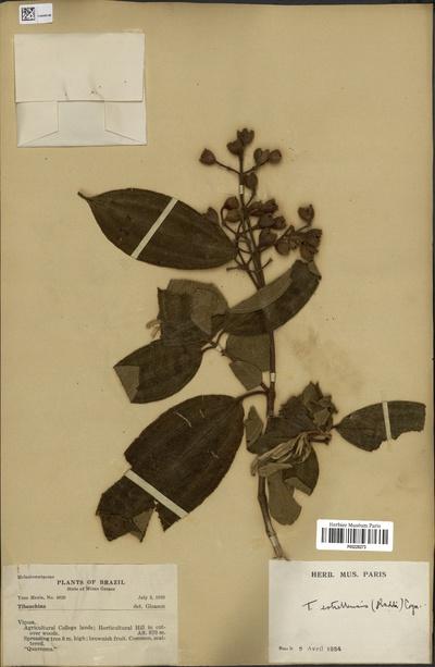 Tibouchina estrellensis (Raddi) Cogn.