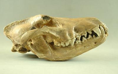 Crâne de loup (Canis etruscus, 1,8 million d'années)
