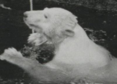 Isbjørn på tur i Bergen
