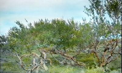 Fra foredragsrekken Landmålerlivet i Finnmark v/Axel Printz: Bjørkeskog ved Suololuobbal i Adamjokka( X-4