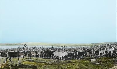 Fra foredragsrekken Landmålerlivet i Finnmark v/Axel Printz : Reinflokken på 3-400 rein ved Roanccejavret