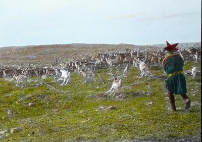 Fra foredragsrekken Landmålerlivet i Finnmark v/Axel Printz : Reinkalvene fanges inn for slakting
