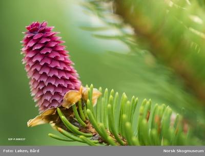 Hunnblomst fra gran (Picea abies)