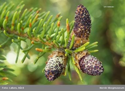 Hannblomst fra gran (Picea abies)