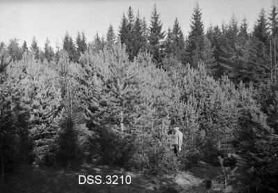 Ungskogbestand på Gjørmerud i Nes prestegardsskog på Romerike
