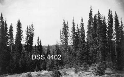 Gjenvekst ved bestandskant i granskog i Gravråk statsskog