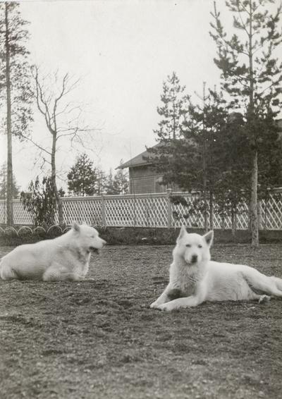 To hundar fotografert ved disponentvillaen i Alby