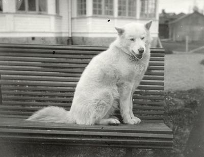 Hunden Panu fotografert ved disponentvillaen i Alby der Albert Petersson budde