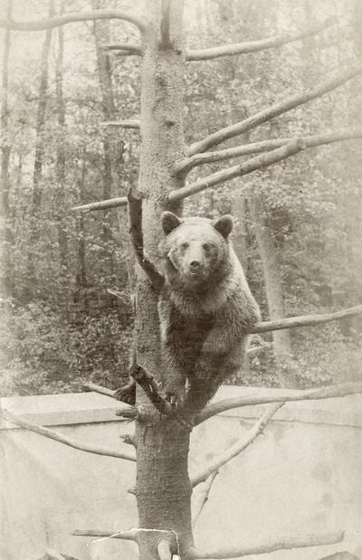 Bjørnunge klatrar i eit tre