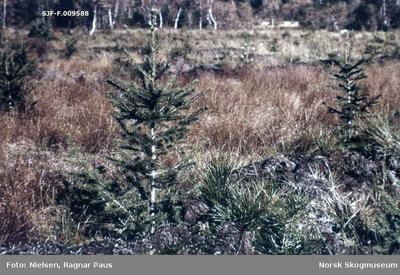 Tørrlagt torvmark der det er plantet gran
