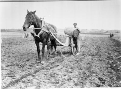 Lauritz Pedersen med hesten Aron i potetonna på Rogneby