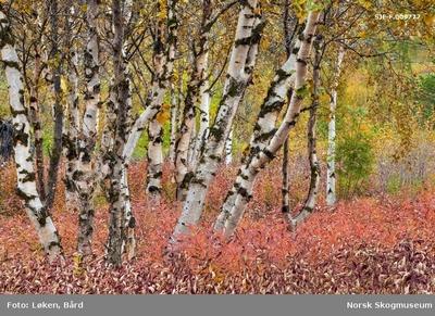 Høstfarget vegetasjon i Alta i Finnmark