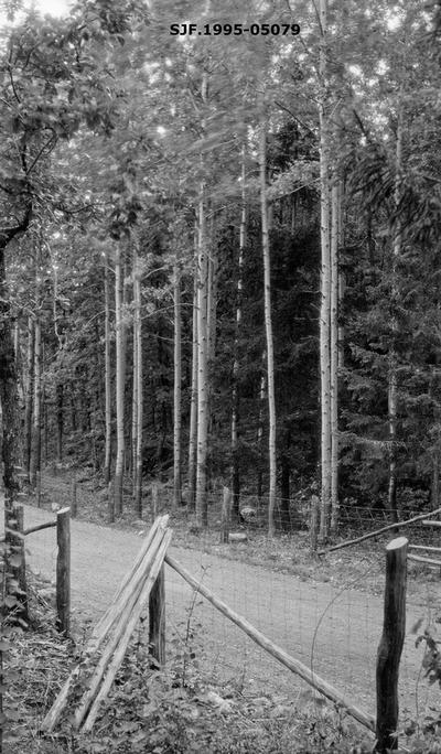 Gruppe av ospetrær (populus tremula) ved veg i Lillesand kommune i Aust-Agder