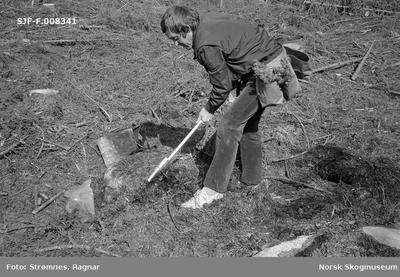 «Konsulent Olav Kaveldiget demonstrerer planting. Juni 1977»«Dekkrot (pluggplanter) i plantebelte 125 planter (5 lommer a 25 planter) og hullpipe.»