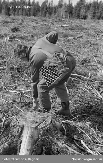 «Skogkulturforsøk på Gardermoen 1974.»«Forsøksarbeider Torbjørn Sørgård planter pottebrettplanter M-95. Skulderrem er nødvendig.»
