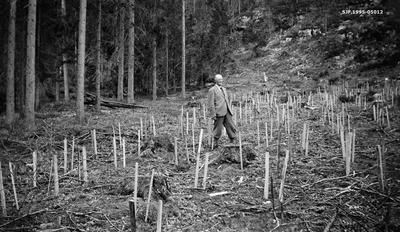 Granplanting på eiendommen Fossum i Sørkedalen i Aker