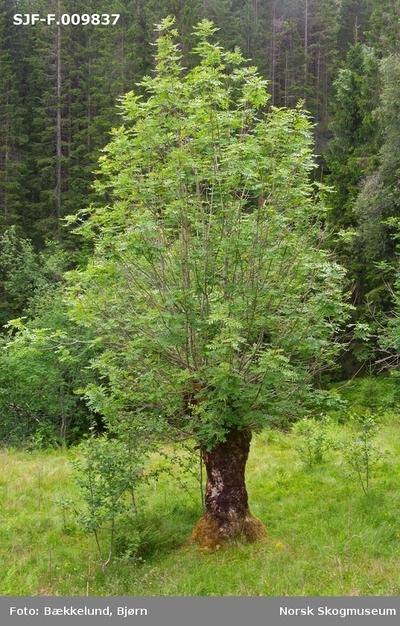 Styvet asketre i (Fraxinus excelsior) i Grautaberget
