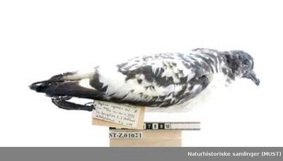 Flekkpetrell