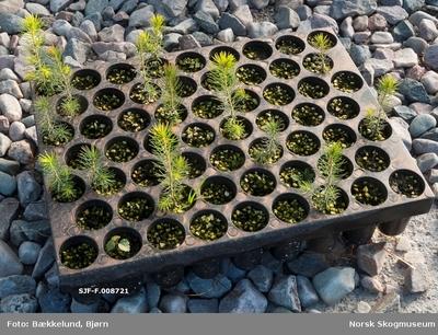Pottebrett – et såkalt M-60-brett – der det bare var granplanter i 14 av de 60 plantehullene