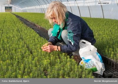 Planteskolemedarbeider Karen Margrete Sandal fra Bø i Telemark fotografert under luking eller tynning av pottebrettplanter av gran i et av plastveksthusene ved Telemark planteskule
