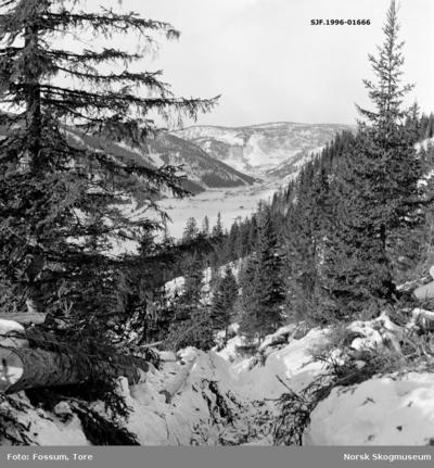 Fra hogstfelt oppunder «resset» (øverst i lia) i Vestre Gausdal i Oppland