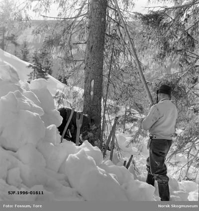 Felling av grantre i Bødalen i Vestre Gausdal i mars 1967
