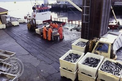 Lossing av fisk ved kaia utenfor Kristian Holst i Harstadhamn