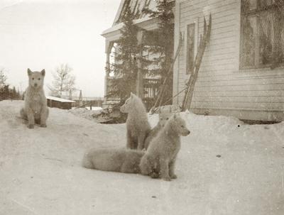 Fire kvite hundekvalpar utanfor disponentvillaen i Alby
