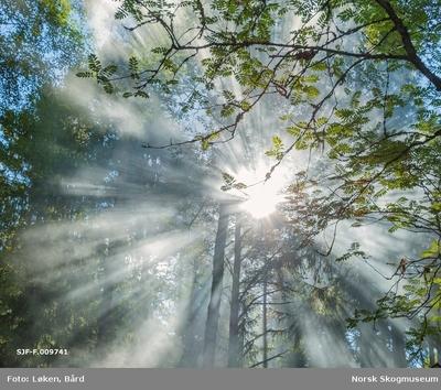Sola bryter gjennom dis i blandingsskog med gran