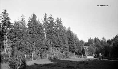 Gammelt plantefelt med gran på et sted som kalles Lervik