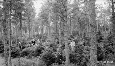 Furu underplantet med gran på et sted som kalles Njøskog
