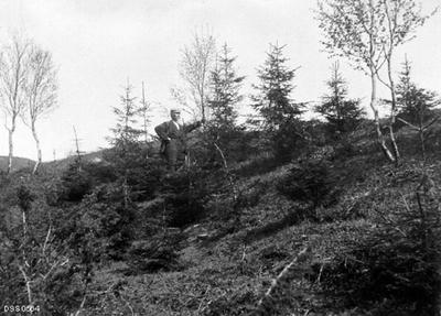 «Fra Folden. 11-års granplantning ved Hestvik, utført av skogvokter H. Pedersen.»