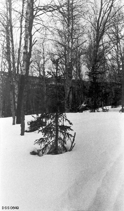 «Fra Hatfjelldalen. Smaagran, ødelagt av elg vinteren 1910.»