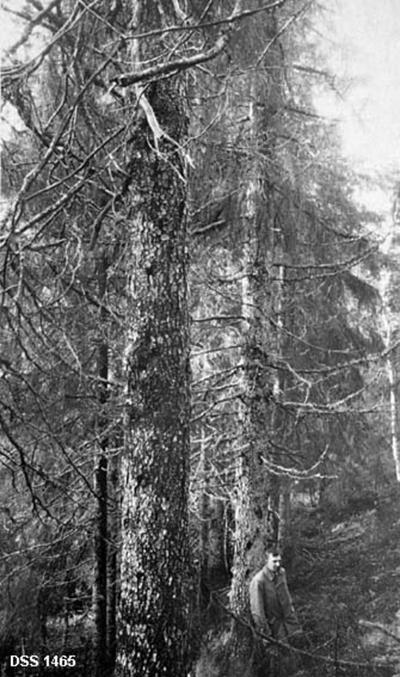 Fra Namstad statsskog. Namstadlien. Gjennemblinket og solgt 1923.